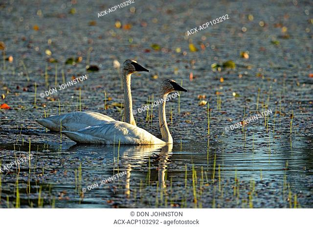 Trumpeter swan (Cygnus buccinator) Adults, Seney NWR, Seney, Michigan, USA
