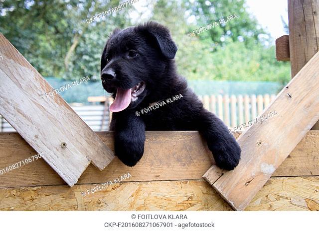 Black German Shepherd Dog puppy, working, herding dog, GSD, August 23, 2016. (CTK Photo/Klara Foitlova)