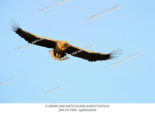 White-tailed eagle (Haliaeetus albicilla) flying against blue sky in Norwegian bay