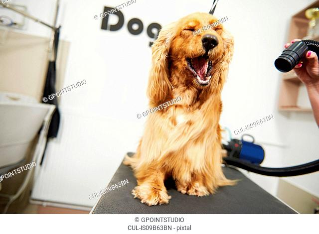Cocker spaniel with eyes closed during blow dry at dog grooming salon