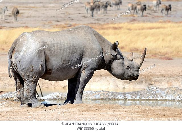 Black Rhinoceros (Diceros bicornis), adult male standing at waterhole, with herd of Burchell's zebras (Equus burchelli) behind, Etosha National Park, Namibia