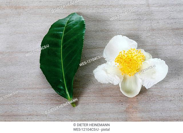Tea plant Camellia sinensis, Leaf and blossom, elevated view