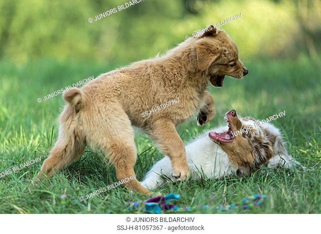 Australian Shepherd puppy and Golden Retriever puppy playfighting on a lawn. Germany