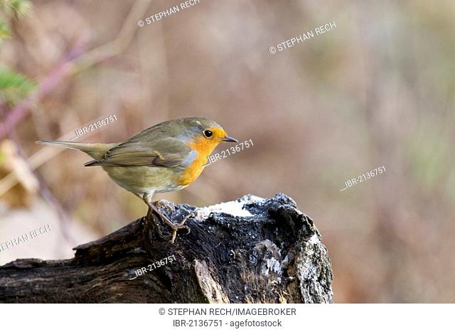 European robin (Erithacus rubecula) on a root, Bad Sooden-Allendorf, Hesse, Germany, Europe