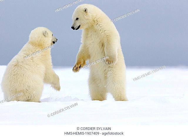 United States, Alaska, Arctic National Wildlife Refuge, Kaktovik, Polar Bear (Ursus maritimus), youngs playing together