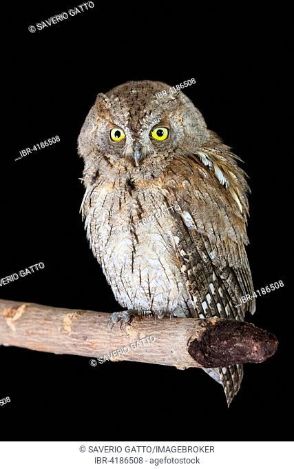 Scops Owl (Otus scops), adult perched on a branch, Campania, Italy