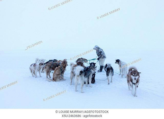 Inuit hunter untangling the lines on his dog team on the sea ice in a snow storm
