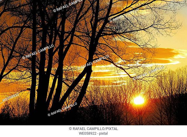 Poplars at sunset. Osseja, Pyrénées-Orientales, France