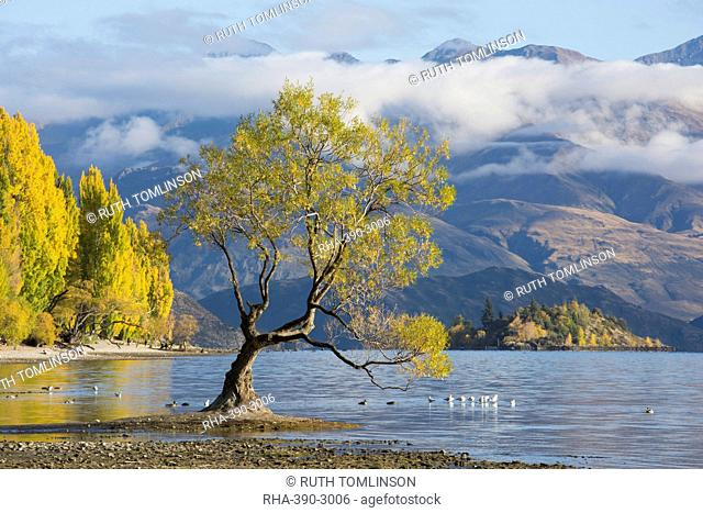 Lone willow tree growing at the edge of Lake Wanaka, autumn, Roys Bay, Wanaka, Queenstown-Lakes district, Otago, South Island, New Zealand, Pacific