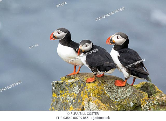 Atlantic Puffin (Fratercula arctica) three adults, breeding plumage, standing on lichen covered rock during rainfall, Latrabjarg, Iceland, June
