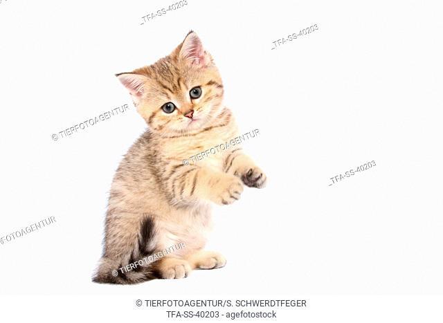 begging British Shorthair Kitten