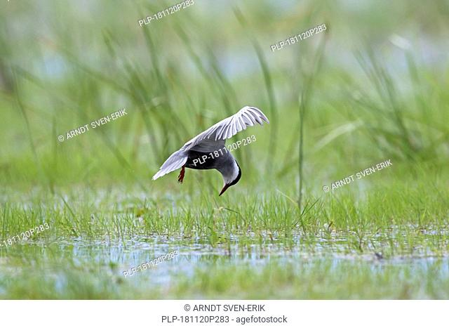 Whiskered tern (Chlidonias hybrida / Chlidonias hybridus) fishing in marshland, migratory bird breeding on inland lakes, marshes and rivers in Europe
