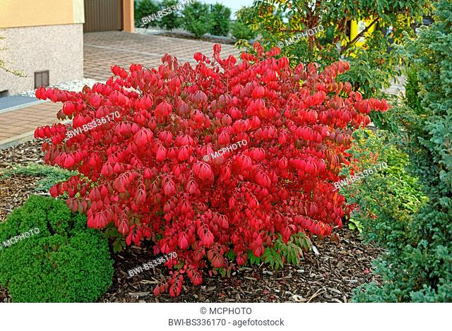 winged burning bush,wahoo, winged euonymus, winged spindle-tree (Euonymus alatus 'Compactus', Euonymus alatus Compactus), cultivar Compactus in autumn, Germany