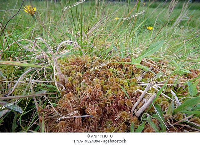 Lustrous Bog-moss Sphagnum subnitens - Westzanerveld, Zaanstreek, North Holland, The Netherlands, Holland, Europe