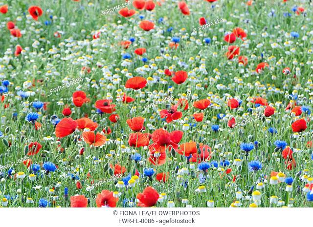 Wild flower meadow with Papaver rhoeas, Field poppy, Centaurea cyanus, Cornflower and Anthemis arvensis, Corn Chamomile, growing outdoor