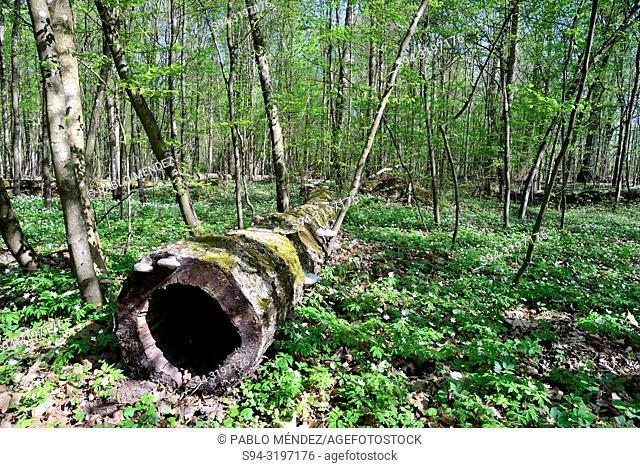 Forest in National park of Bialowieza, Podlasie, Poland