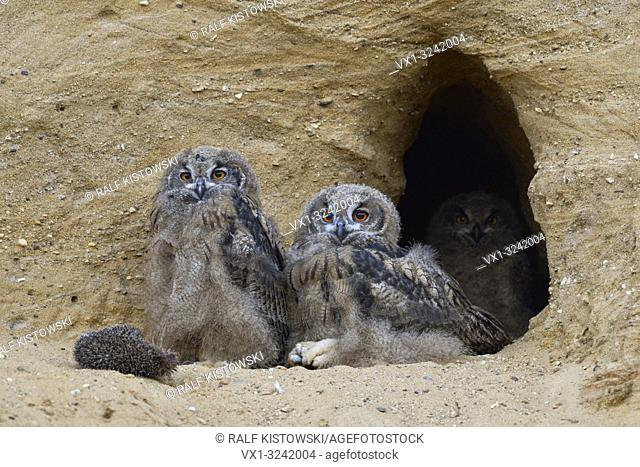 Eurasian Eagle Owls ( Bubo bubo ), young, sitting at the entrance of their nest burrow, relaxed, funny, wildlife, Europe