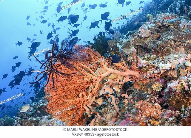 Redtooth triggerfish, Odonus niger, Verde Island, Batangas, Philippines, Pacific
