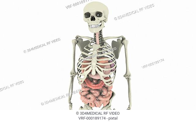 Animation depicting the gastrointestinal system within the human skeleton, rotating 360 degrees