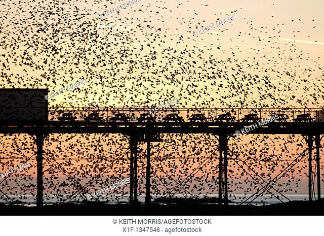A flock of starlings roosting at Aberystwyth pier, Ceredigion, West Wales UK
