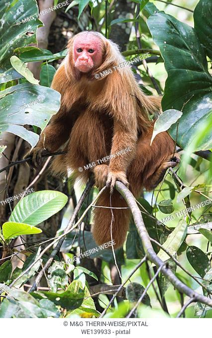 Red bald-headed Uakari monkey also known as British Monkey (Cacajao calvus rubicundus), Amazon state, Brazil