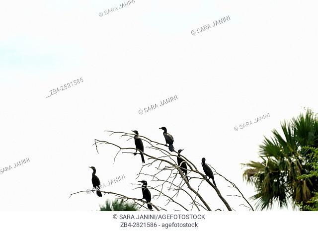 Cormorant (Phalacrocoracidae) aquatic birds, Centla swamps (Pantanos de Centla) tropical moist forest biosphere reserve, Tabasco, Mexico, America