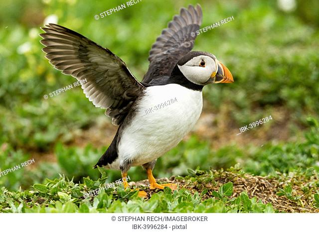 Puffin (Fratercula arctica), Farne Islands, Northumberland, England, United Kingdom