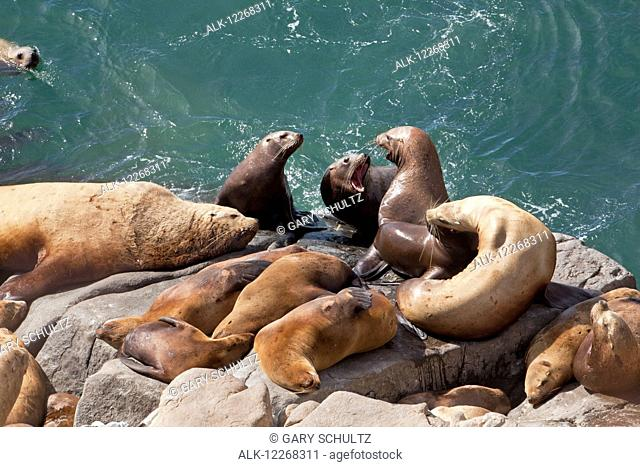 Steller sea lions (Eumetopias jubatus) hauled out at East Cape in summer, Walrus Islands State Game Sanctuary, Round Island, Bristol Bay, Southwest Alaska, USA