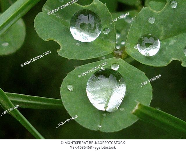 Clover with 3 raindrops