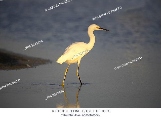 White heron (Ardea alba), Siesta Key, Sarasota, Florida, USA. .