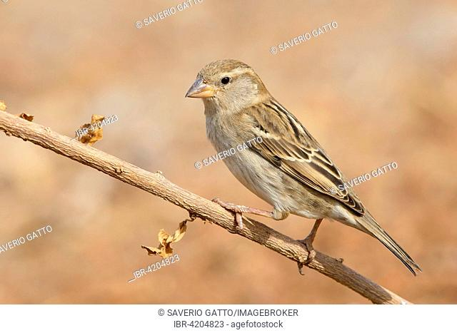 Spanish Sparrow (Passer hispaniolensis), female perched on a branch, Santiago, Cape Verde