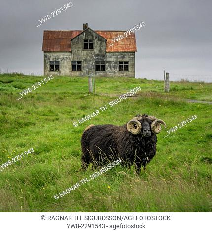 Ram with large horns grazing by an abandoned farmhouse, Icleland