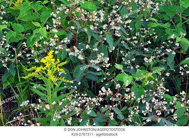Flowering spreading dogbane (Apocynum androsaemifolium) and Canada goldenrod (Solidago canadensis), Greater Sudbury, Ontario, Canada