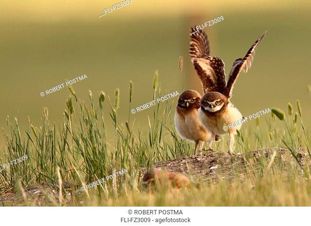 Digitally enhanced image with painterly effect of Burrowing owl stretching wings, Grasslands National Park, Saskatchewan