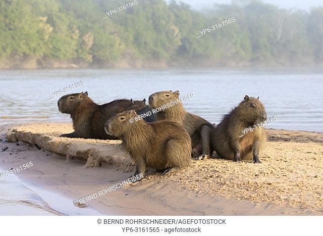 Capybara (Hydrochoerus hydrochaeris), group resting on sandbank in river, Pantanal, Mato Grosso, Brazil