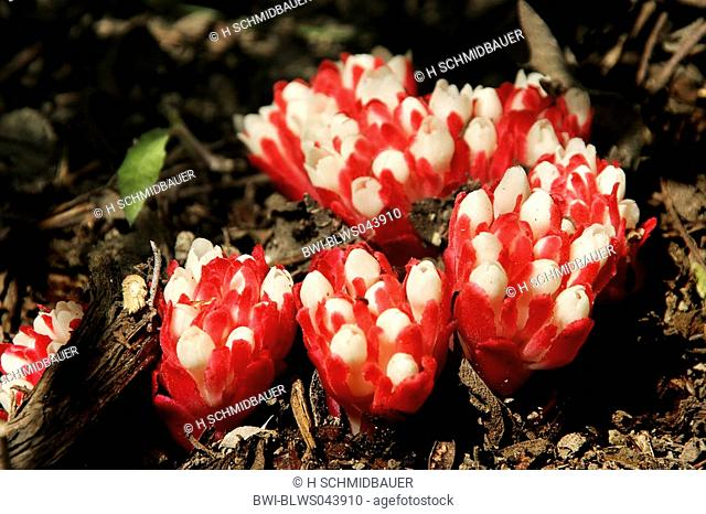 yellow hypocistis Cytinus hypocistis, blooming plants