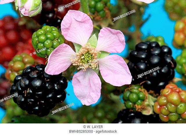shrubby blackberry (Rubus fruticosus), flower and fruits, Germany