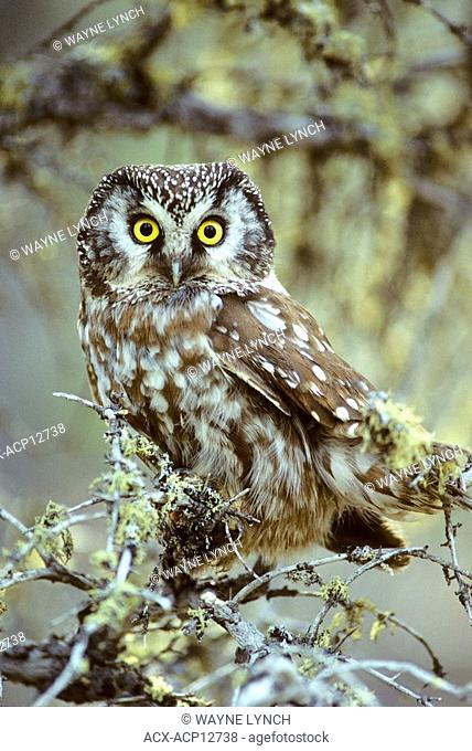 Adult boreal owl Aegoilus funereus roosting near its nest cavity, northen Manitoba, Canada