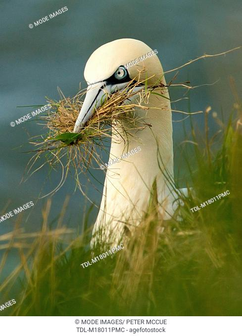 A gannet carrying nesting material