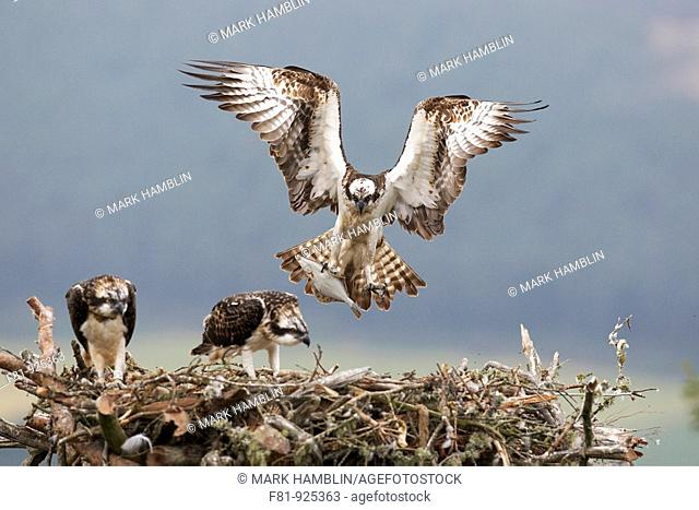Osprey Pandion haliaetus male approaching nest with fish for chicks Northern Scotland, UK  July 2008