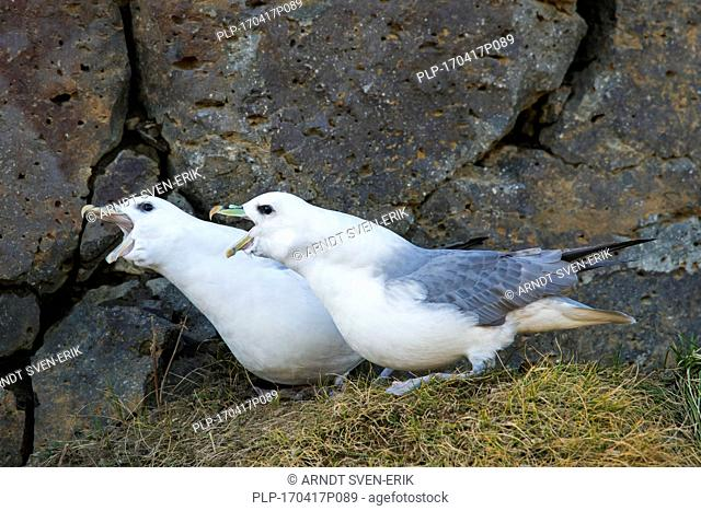 Northern fulmar / Arctic fulmars (Fulmarus glacialis) pair displaying on ledge in rock face of sea cliff