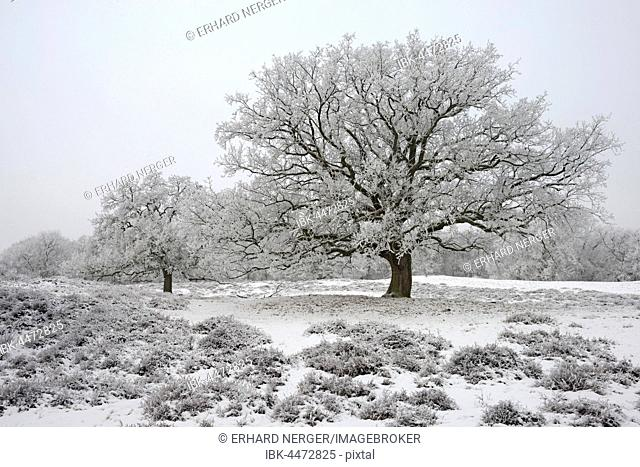 English Oaks (Quercus robur) with hoarfrost, Emsland, Lower Saxony, Germany