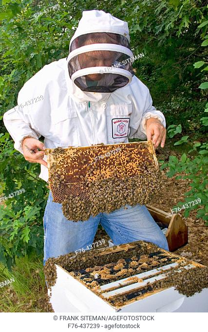 Beekeeper examining comb from the brood chamber of hive. The frame has capped brood and eggs. This short frame has drone brood on the bottom