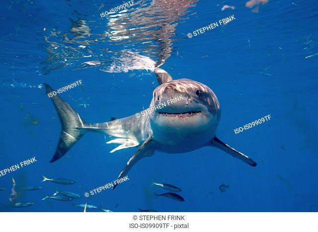 Great White Shark, Mexico