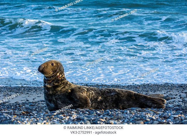 Grey Seal, Halichoerus grypus, Male on the Beach, Europe