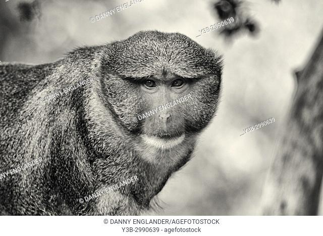 A photogenic Allen's Swamp Monkey in black and white