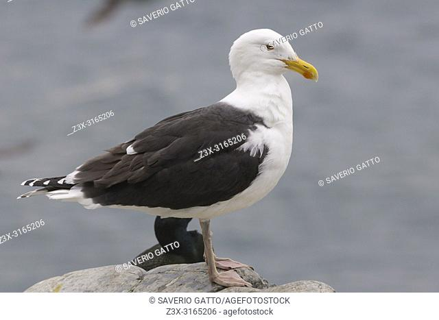 Great Black-backed Gull (Larus marinus), standing on the ground