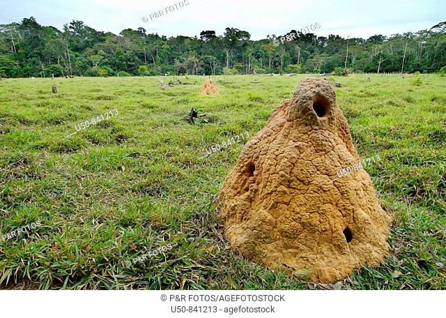 Termite nest in degraded pasture in Brazilian Amazon, Acre, Brazil (Isoptera, Termitidae, Cornitermes sp., cupim-de-montículo)