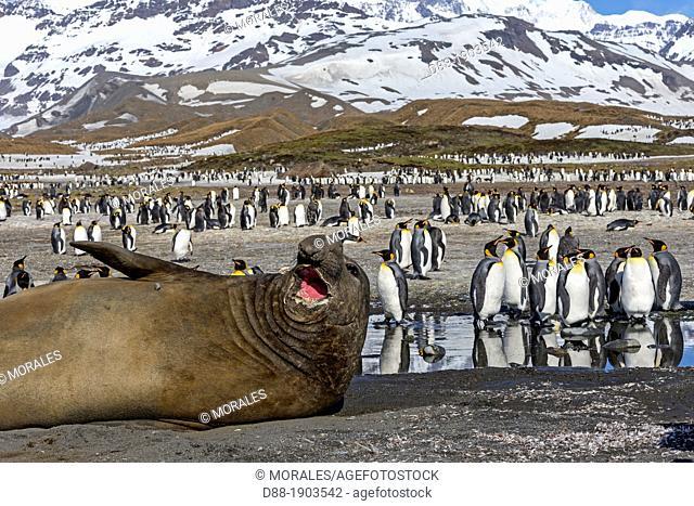 United Kingdom, South Georgia Islands, Saint Andrews plains, Southern Elephant Seal, Mirounga leonina, male and king penguins