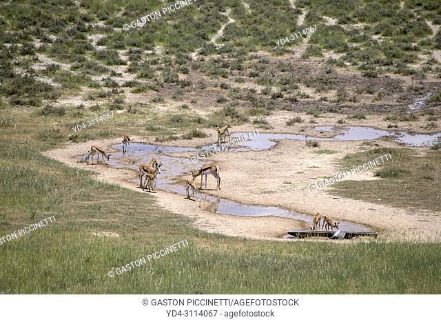 Springbok (Antidorcas marsupialis), in the waterhole, Polentswa Pan, Kgalagadi Transfrontier Park in rainy season, Kalahari Desert, South Africa/Botswana